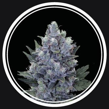 Blue Queen Auto (Strong Seeds) – 3 fem.