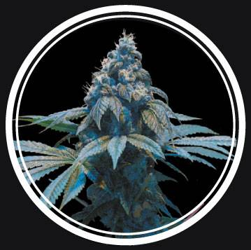 Blue Queen (Strong Seeds) - 3 fem.