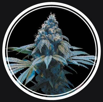 Blue Queen (Strong Seeds) - 3 fem.