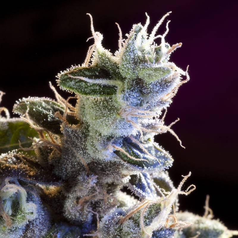 Great White Russian (Rastaman Seeds) - 3 fem.