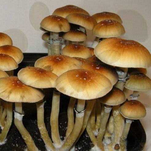 Споры грибов Psilocybe Cubensis - PES Amazonian