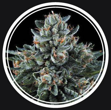 Puta Madre Kush (Strong Seeds) - 3 fem.