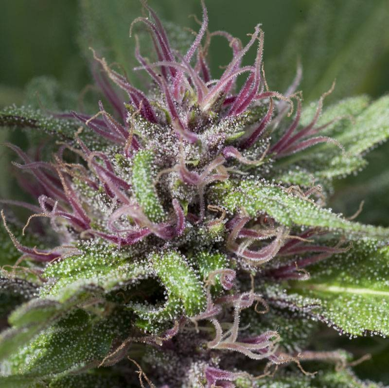 Sticky Blue (Rastaman Seeds) - 5 fem.