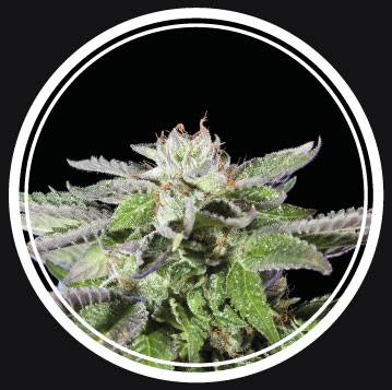 Strong Lemon Auto (Strong Seeds) - 3 fem.