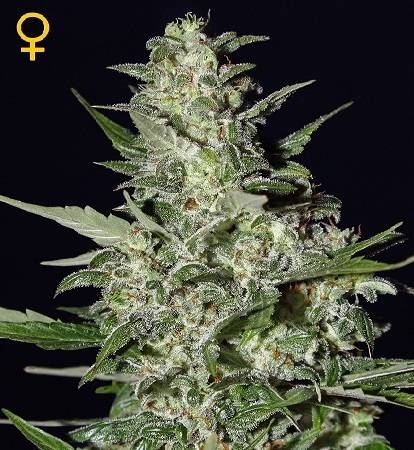 Super Critical (Green House Seeds) - 3 fem.