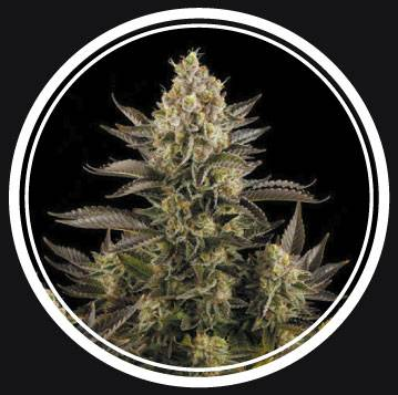 White Widow (Strong Seeds) - 3 fem.