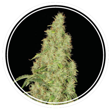 White Widow Auto (Strong Seeds) – 3 fem.