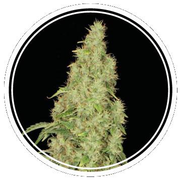 White Widow Auto (Strong Seeds) – 3 fem.