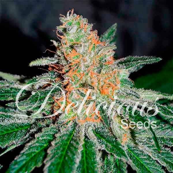 CBD JAM (Delicious Seeds) - 3 fem.