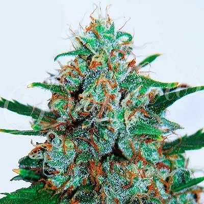 Critical Neville Haze Auto (Delicious Seeds) - 3 fem.