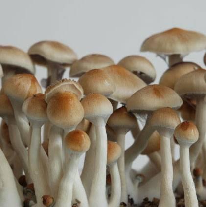 Споры грибов Psilocybe cubensis - Ecuador