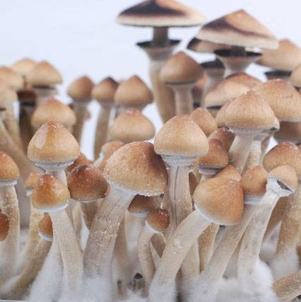 Споры грибов Psilocybe cubensis - Orissa