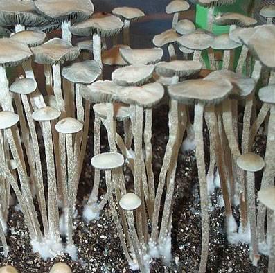Споры грибов Panaeolus tropicalis