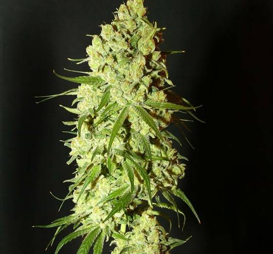 Cannatonic (Resin Seeds) - 3 fem.