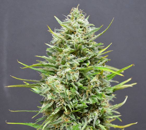 Snow Star Auto (Amsterdam Seeds) - 6 fem.