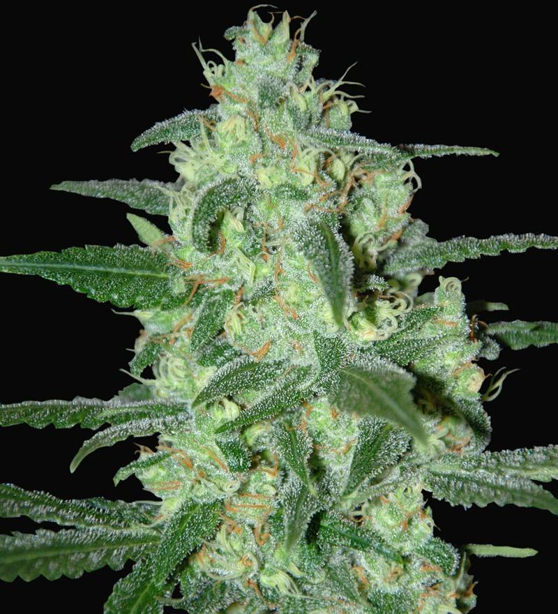 Thunder Bloody Mary Auto (Samsara Seeds) - 3 fem.
