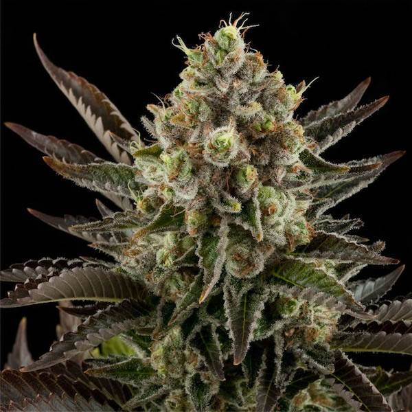White Widow (Dinafem Seeds) - 3 fem.