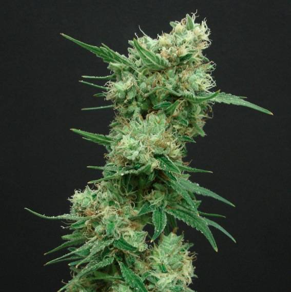 White Widow (Amsterdam Seeds) – 3 fem.