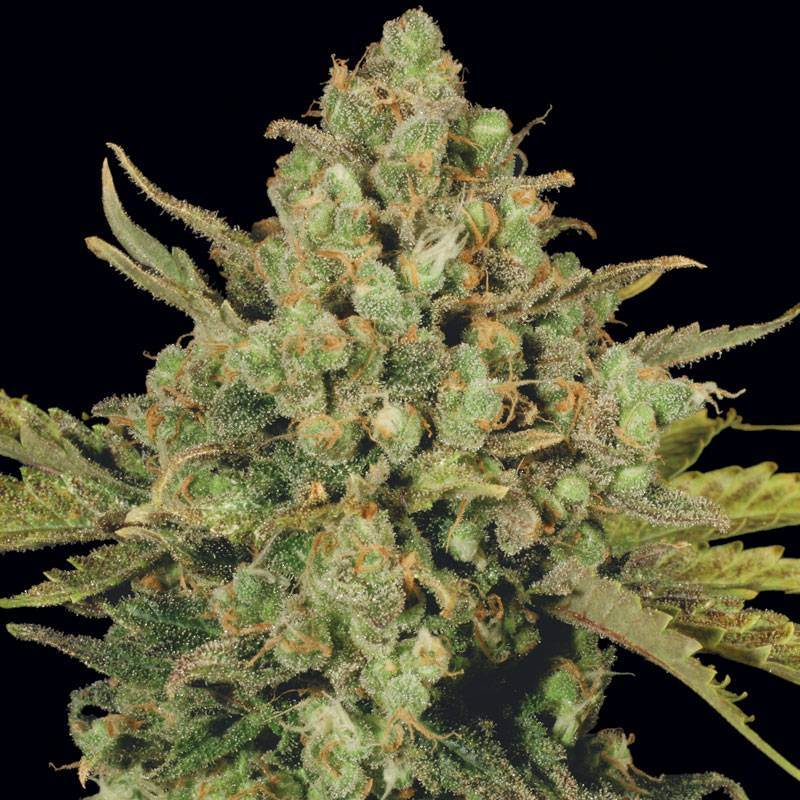 White Widow (Rastaman Seeds) - 3 fem.