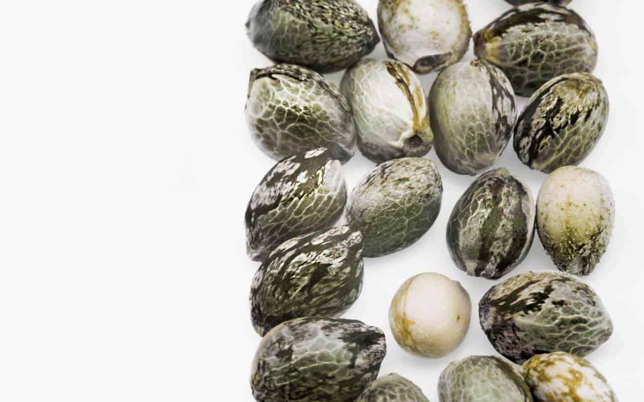 купить автоцветущие семена конопли