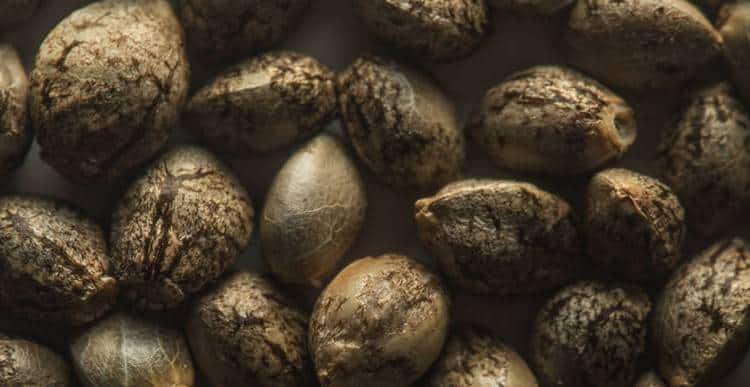Сколько хранятся семена конопли летальный исход от курения конопли
