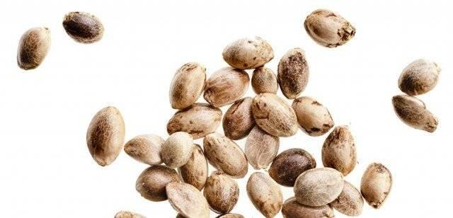 феминизированные семена конопли