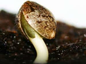 проращивание семян конопли в почве