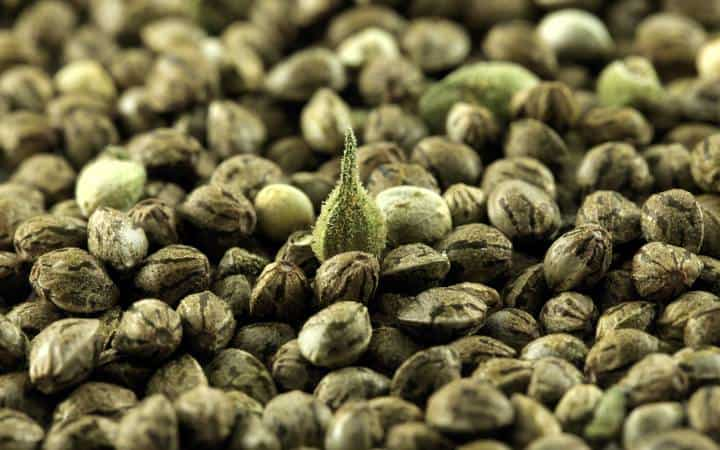 Семена медицинской конопли