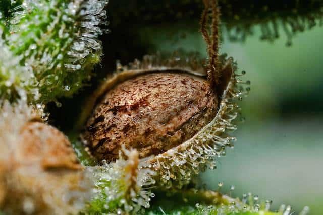 Высококачественные семена конопли какое время конопля определяется в моче
