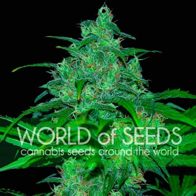 Wild Thailand (World of Seeds) - 3 fem.