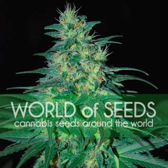 South African Kwazulu (World of Seeds) - 3 fem.