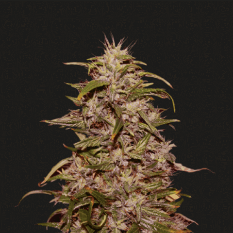 Big Altai Sativa Express (Kalashnikov Seeds) - 3 fem.