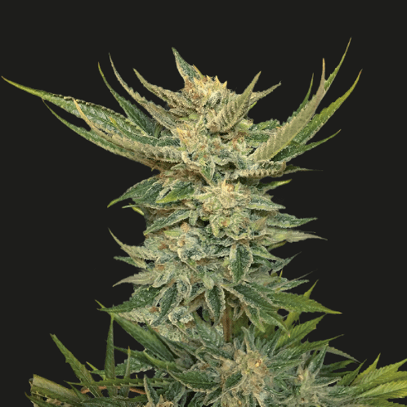 Vodka Lemon (Kalashnikov Seeds) - 3 fem.