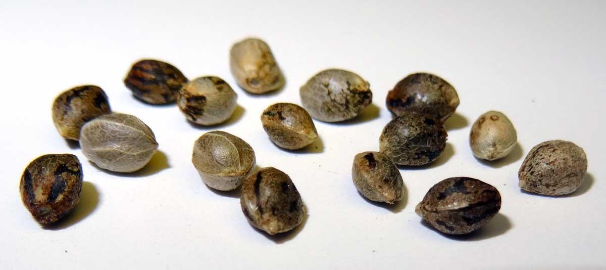 gde-kupit-semena-konopli