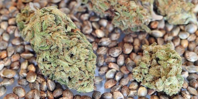 Урожайные семена конопли