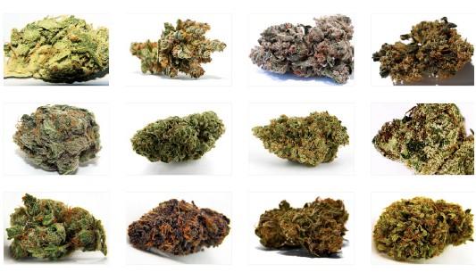 Сорт марихуаны кусты сортовой марихуаны