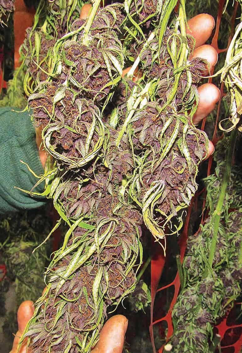 Запах при сушке конопли настойка из марихуаны