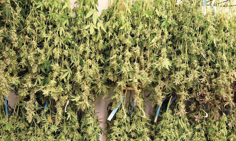 Как высушить листья марихуаны конопля листья курят