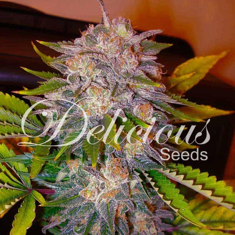 Caramelo (Delicious Seeds) - 3 fem.