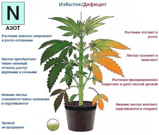 Нехватка питательных веществ у марихуаны хорхе сервантес марихуана
