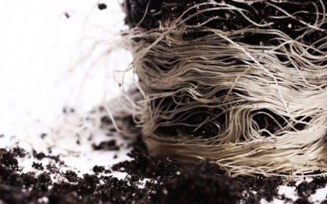 корни конопли пересадка