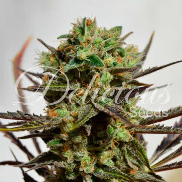 Delicious Candy (Delicious Seeds) - 3 fem.