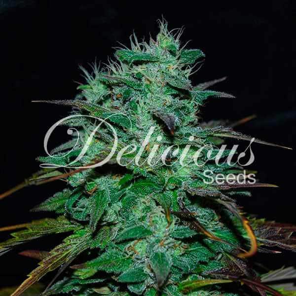 Chocobang (Delicious Seeds) - 3 fem.