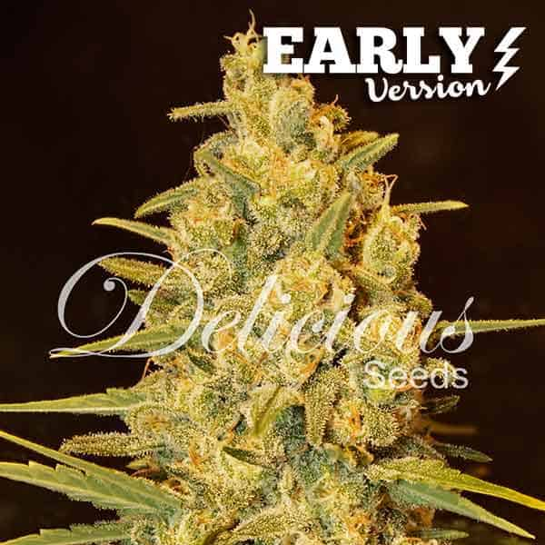 Critical Sensi Star Early Version (Delicious Seeds) - 3 fem.