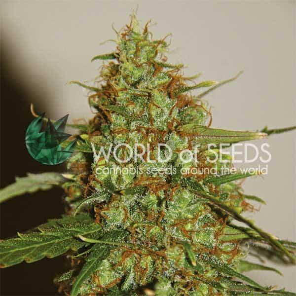 Wild Thailand Ryder Auto (World of Seeds) - 3 fem.
