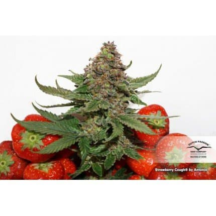 Strawberry Cough (Dutch Passion) - 3 fem.