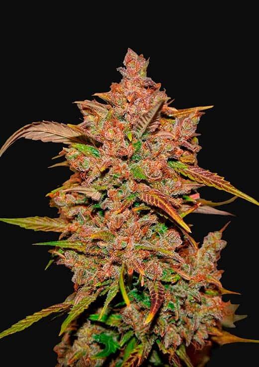 Crystal Meth Auto (Fast Buds) - 3 fem.