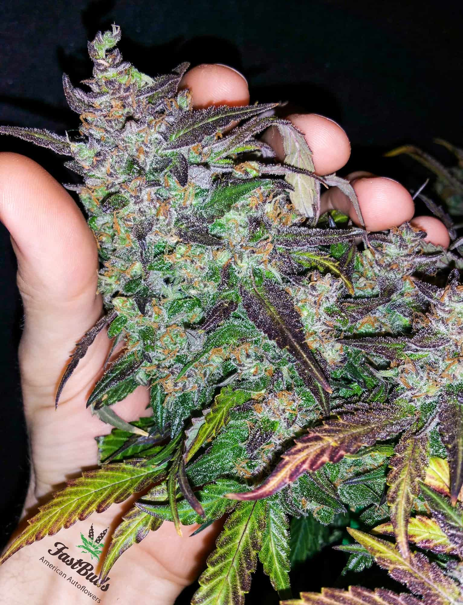 Fastberry (Fast Buds) - 3 fem.