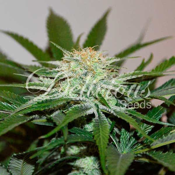 Descojack (Delicious Seeds) – 3 fem.