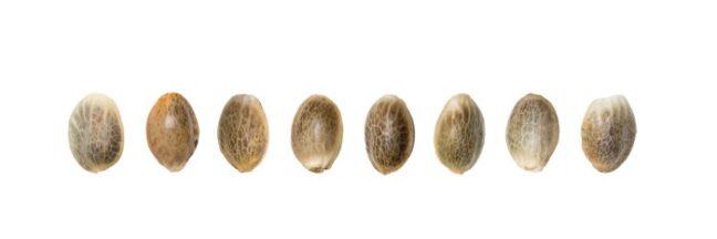 semena-konopli-legalno